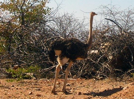 L 39 autruche stuthio cam lus oiseaux struthionid s animaux sauvages - Poids d une autruche ...