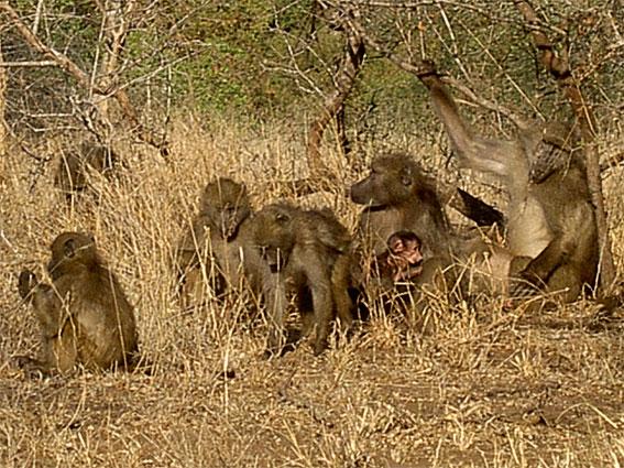 babouin afrique