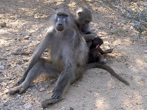 animal babouin