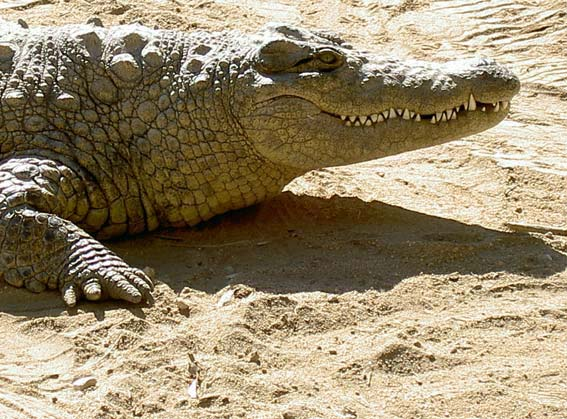 crocodile de profil