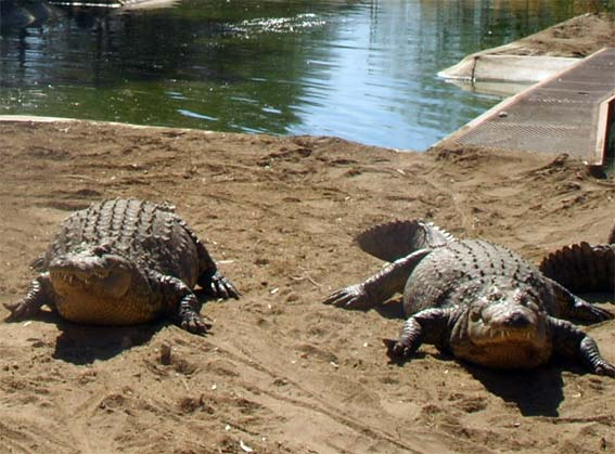crocodiles d'Afrique