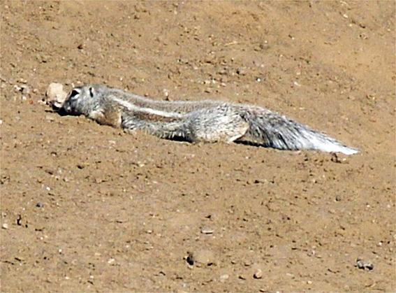 ecureuil du cap
