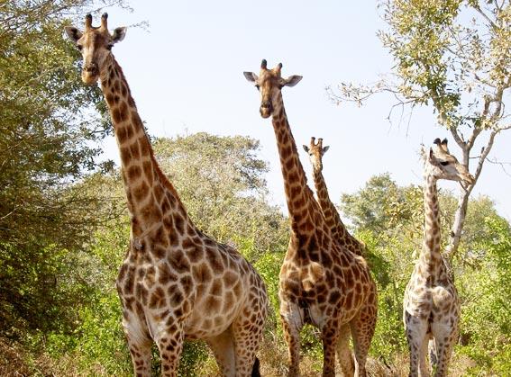 girafe afrique