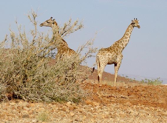 couple de girafe