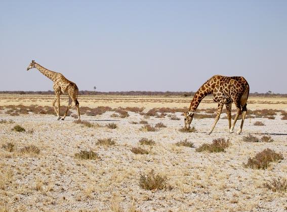 girafe namibie