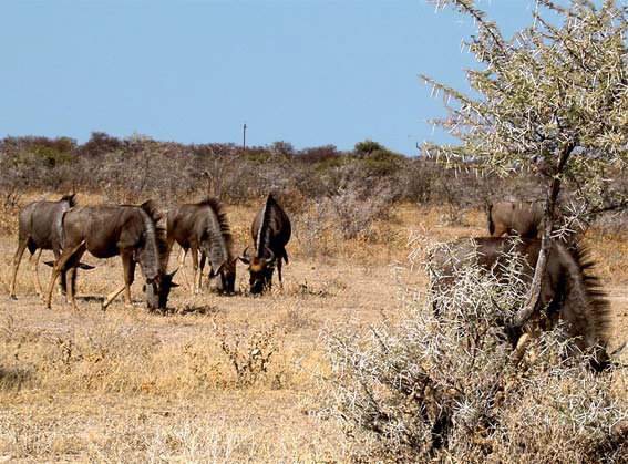 Gnous en Afrique