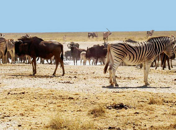 gnou et zebre