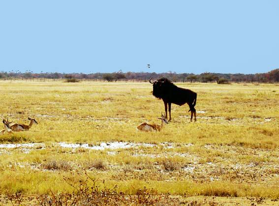 Le gnou photos d 39 animaux sauvages en namibie - Animaux savane africaine ...