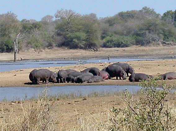 hippopotame animal