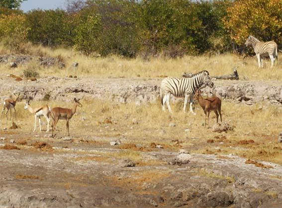 impala animaux