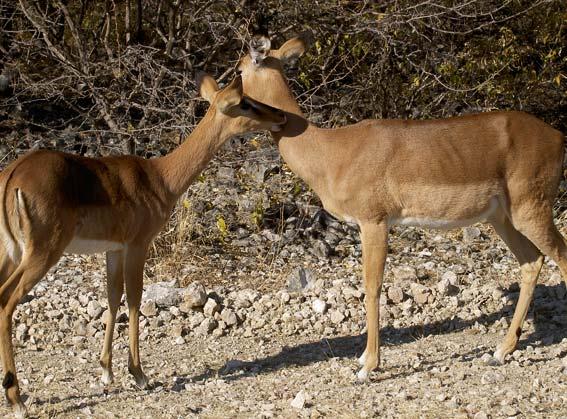 impala et son petit