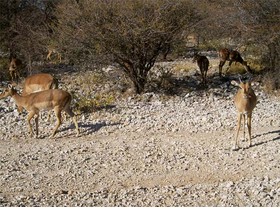 jeune impala