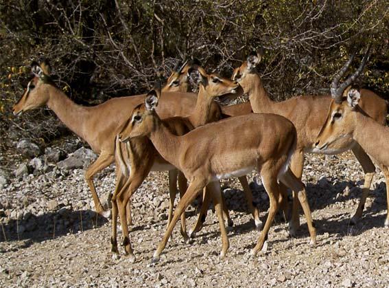 troupeau d'Impala