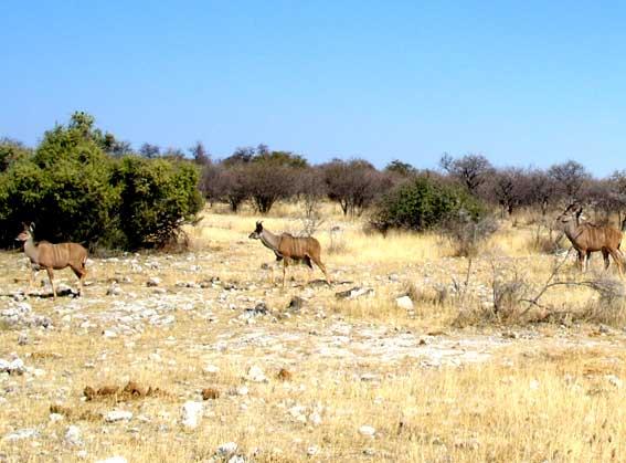 koudou en afrique
