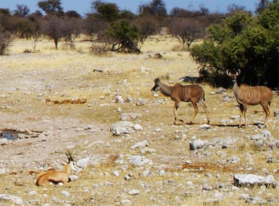 kudu en afrique