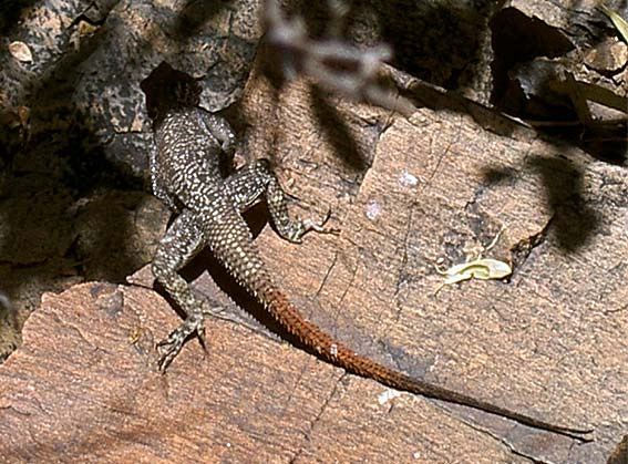 lezard des rochers a queue rouge