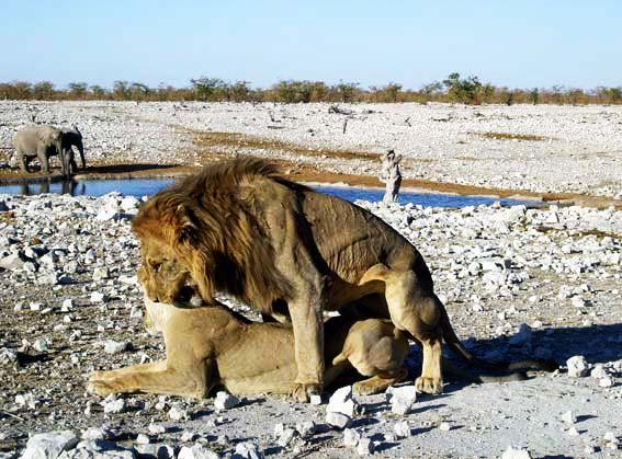accouplement lion et lionne