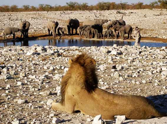 lion et éléphants