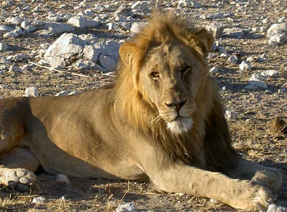 lion en gros plan