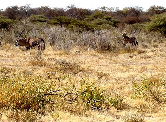 Oryx afrique