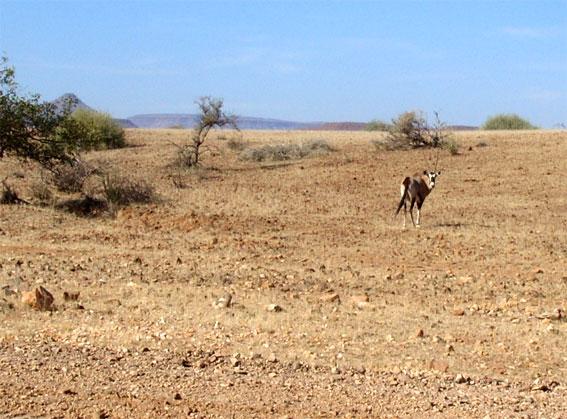 oryx male