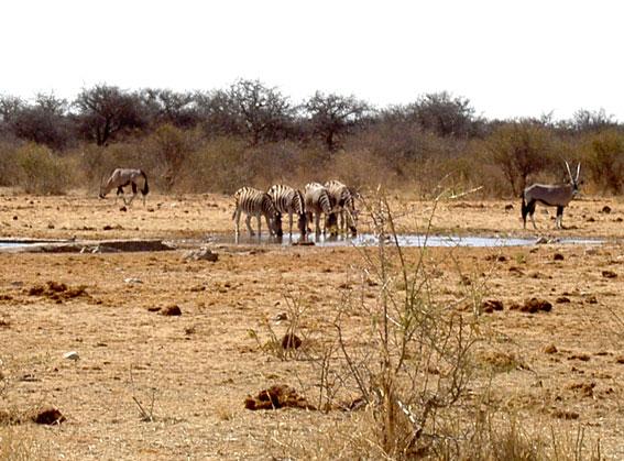 oryx dans la savane africaine