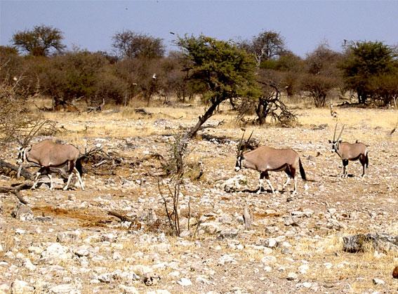 troupeau d'oryx