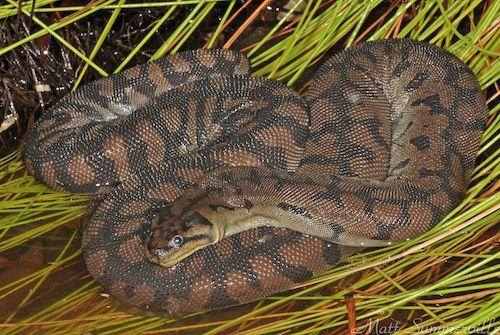 serpent Acrochordidae