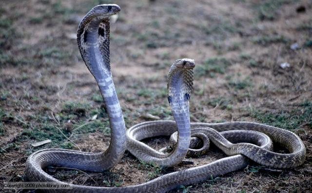 serpent Elapidae