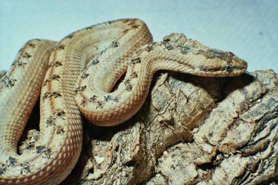 serpent Loxocémidés