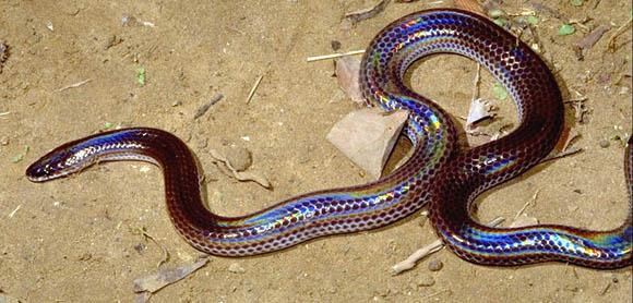 serpent Xenopeltidae