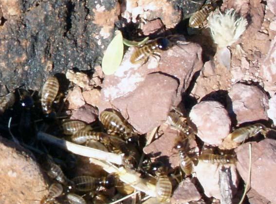 termite en afrique