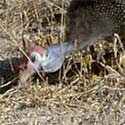 guinea fowl Numidia