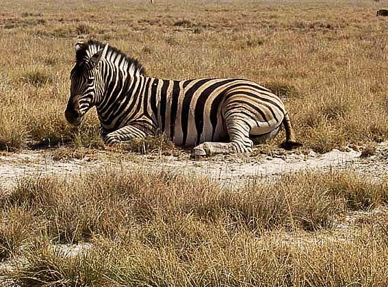 Site rencontre zebre
